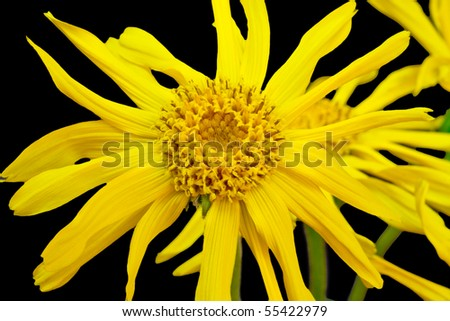 Closeup of a leopard's bane - isolated on black - stock photo