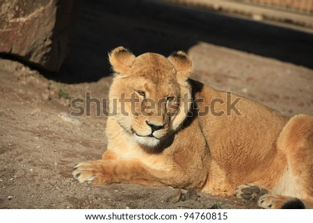 closeup of a lion