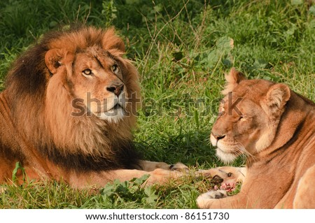 closeup of a Lion and lioness resting while eating a meal, she has some between her paws - stock photo
