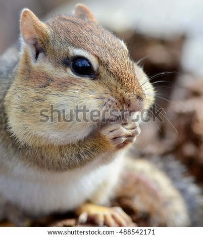 Closeup of a little chipmunk with a face full of seeds