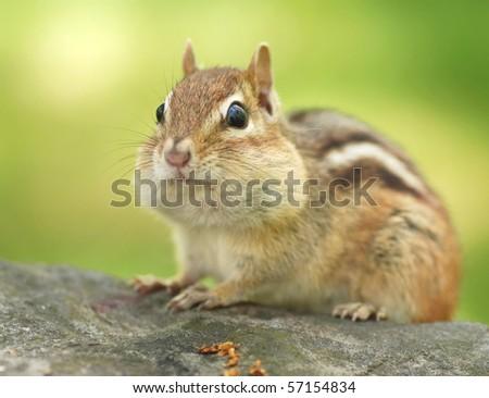 closeup of a little female chipmunk - stock photo