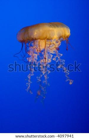Closeup of a lone Jellyfish - stock photo