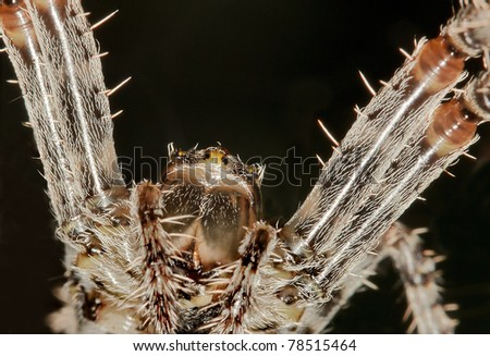 closeup of a looming spider