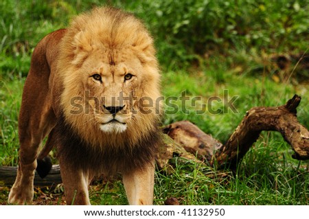 Closeup of a male African lion walking towards the camera - stock photo