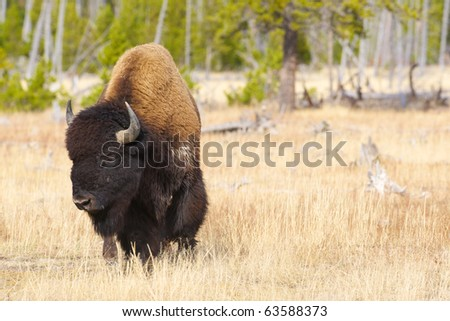 Closeup of a male bison in the wild. - stock photo