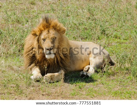 "Closeup of a male Lion (scientific name: Panthera leo, or ""Simba"" in Swaheli) image taken on Safari in the Ngorogoro National park, Tanzania"