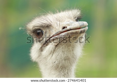 closeup of a male ostrich watching into the camera