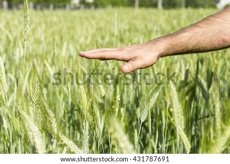 Closeup of a man hand touching the green wheat in summertime - stock photo