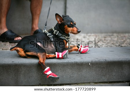 Closeup of a man's legs wearing sandals with her Chihuahua doggy sitting near by  - stock photo