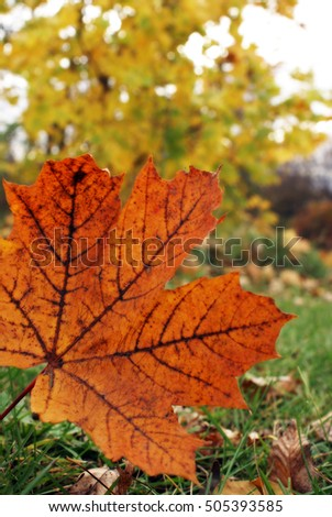Closeup of a maple leaf during the changing colors of fall.