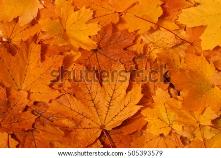 Closeup of a maple leaves during the changing colors of fall.