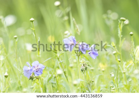 Closeup of a meadow geranium, Geranium pratense, blooming with pale blue flowers in a meadow. - stock photo