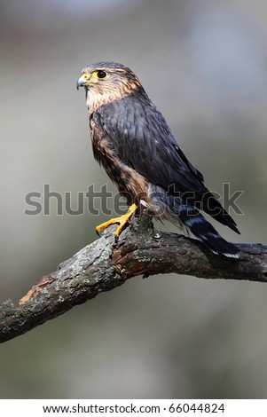 Closeup of a Merlin against a blurred background. - stock photo