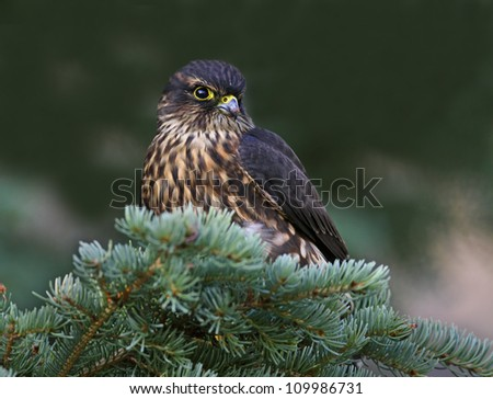 Closeup of a Merlin Falcon.