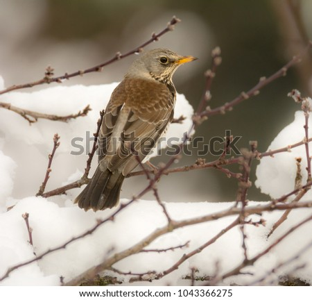 Closeup of a mistle thrush bird sitting on a snow covered tree