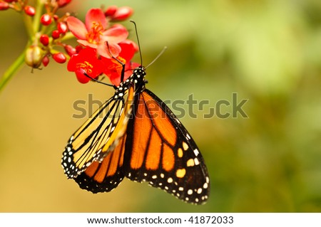 Closeup of a Monarch butterfly feeding on a red flower. - stock photo