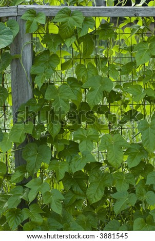 Closeup Moonflower Vine Growing On Wire Stock Photo 3881545 ...