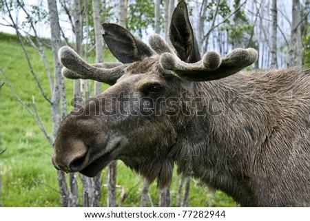 Closeup of a moose head - stock photo
