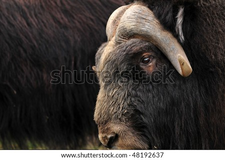 Closeup of a musk ox with others from the herd in the background
