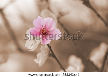 Closeup of a nectarine flower blooming. Color splash effect photo. One flower nectarines is in pink color. The rest of the photos is provided as a vintage photo. - stock photo