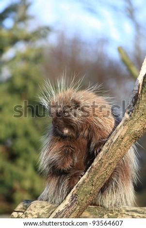closeup of a North American Porcupine