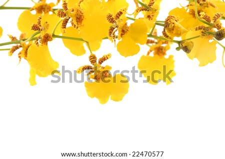 Closeup of a orchid yellow on white background - stock photo