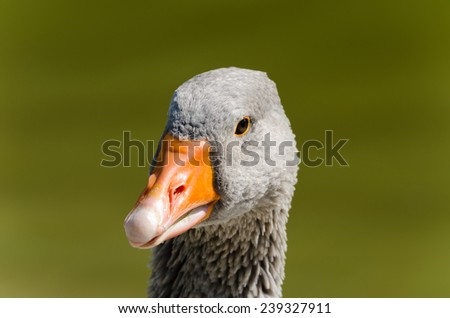 closeup of a Padovana goose in a lake  - stock photo