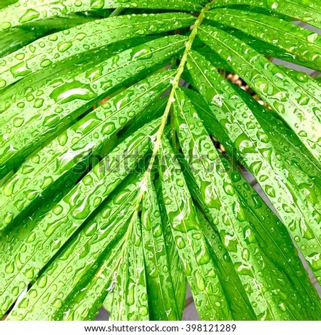 Closeup of a palm tree leaf with water drops. Natural background for concept or advertising.