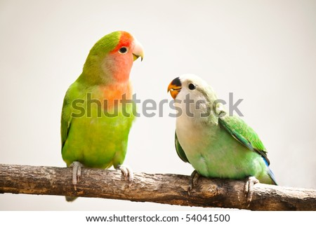 closeup of a peach-faces lovebird sitting on a tree branch - stock photo