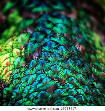 Closeup of  a peacock green and blue plumage  - stock photo