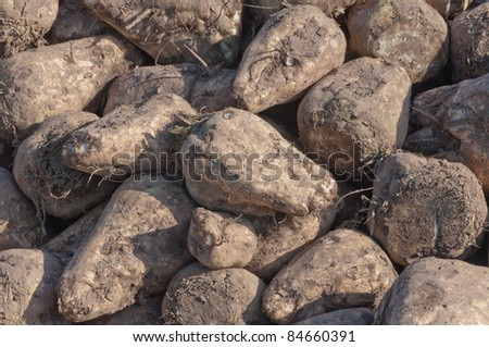 Closeup of a pile of harvested sugar beets in the Netherlands ready for transport to the sugar factory - stock photo
