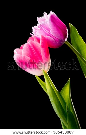 Closeup of a pink fringed tulip, tulipa crispa, and a common red tulip on black background - stock photo
