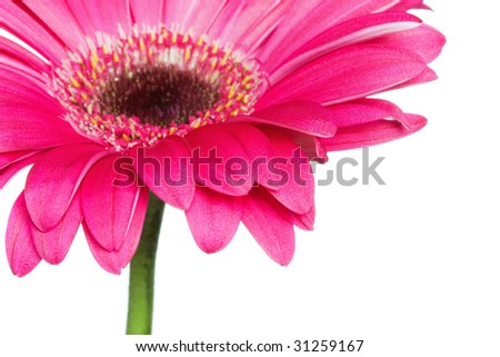 closeup of a pink gerbera daisy with copy space, selective focus on foreground petals - stock photo