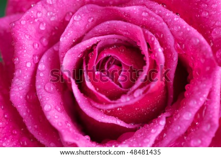 closeup of a pink rose with water droplets - stock photo
