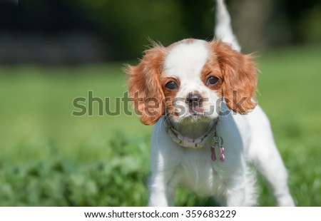 closeup of a playful spaniel puppy face - stock photo