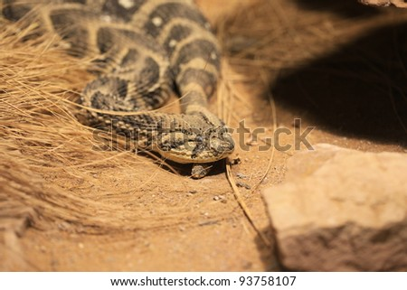 closeup of a poisonous snake