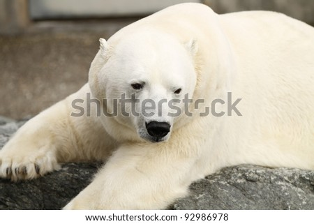 closeup of a polar bear