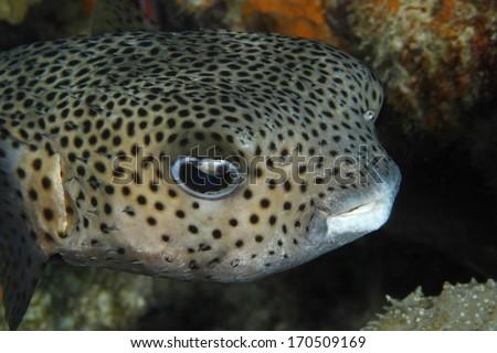 Closeup of a Porcupinefish (Diodon hystrix) - Bonaire - stock photo