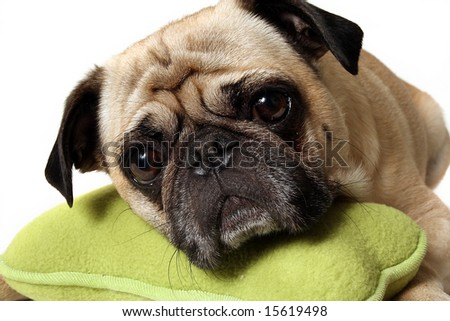 Closeup of a Pug resting his head on a toy. - stock photo