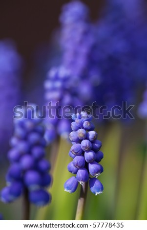 closeup of a purple hyacinth in spring