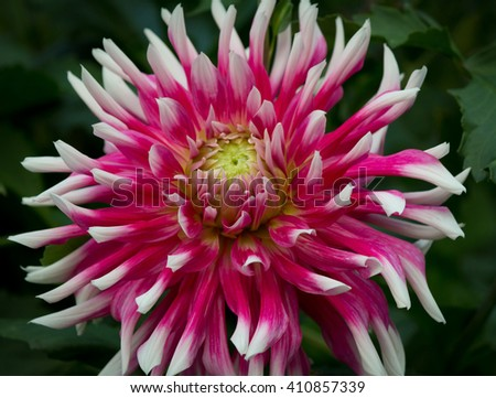 Closeup of a purple pink and white colored dahlia flower in a green natural environment - stock photo