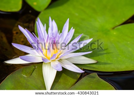 Closeup of a purple Water lily in a pond
