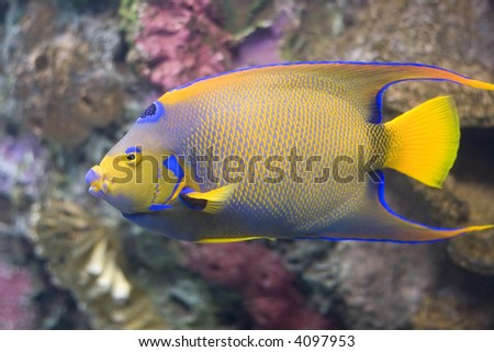 Closeup of a Queen Angelfish (Holacanthus ciliaris) - stock photo