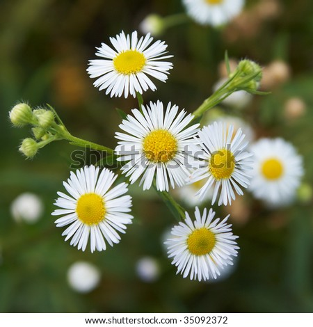 closeup of a rare field daisy. shallow dof - stock photo