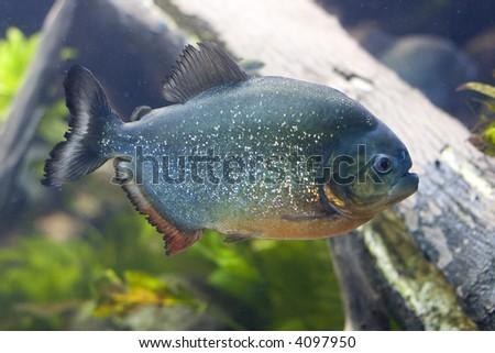Closeup of a Red-Belly Piranha (Pygocentrus nattereri) - stock photo