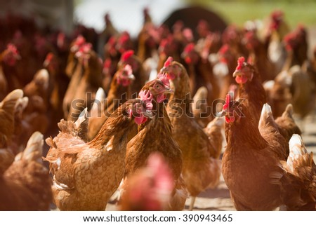 Closeup of a red chickens on a farm in nature. Hens in a free range farm. Chickens walking in the farm yard. - stock photo