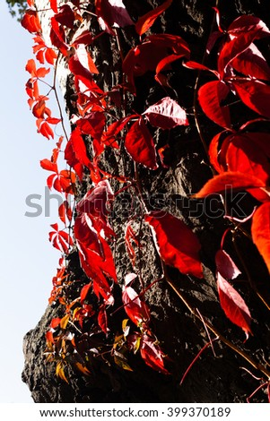 Closeup of a red ivy on a tree  - stock photo