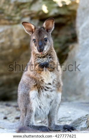 Closeup of a Red-necked Wallaby baby , kangaroo (Macropus rufogriseus)