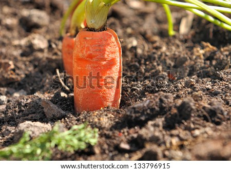 Closeup of a ripe carrot in a vegetable garden soil - stock photo