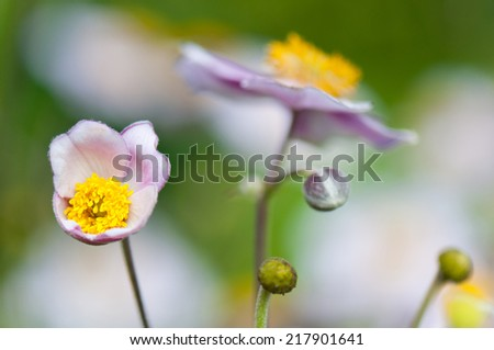 closeup of a rose colored anemone in autumn - stock photo